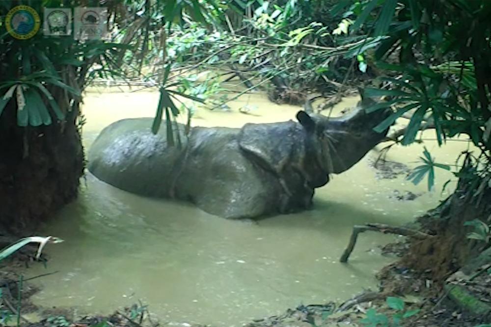 Javan rhino in mudbath