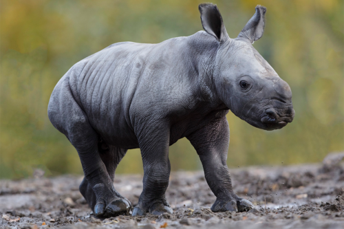White rhino calf.Donate.