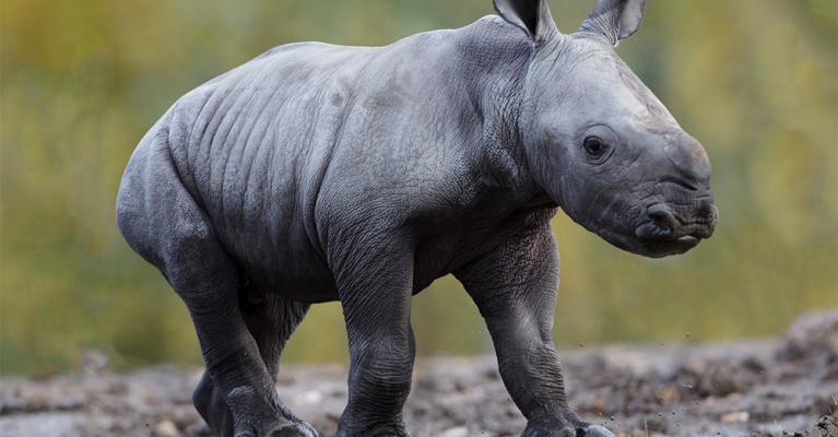 White rhino calf.Donate.