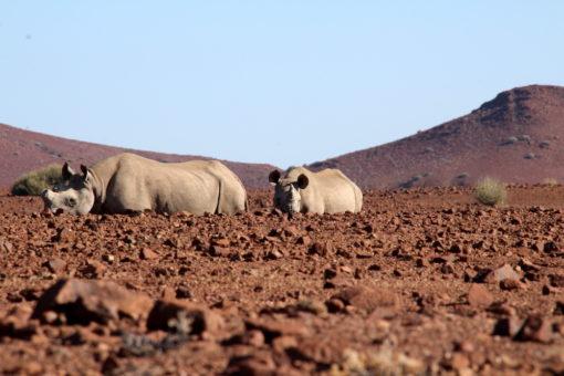 Two black rhinos, Namibia.