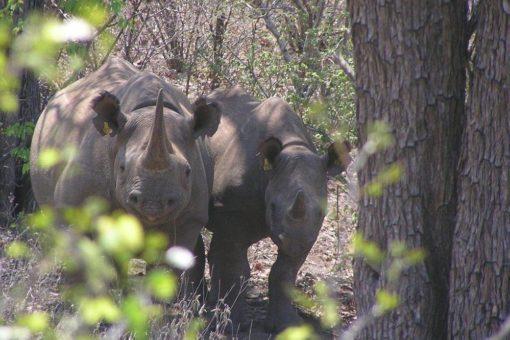 Black rhino Christmas and calf Gift.