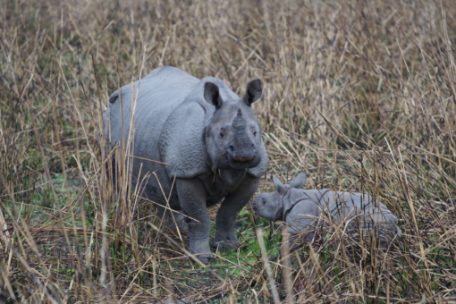 Greater one-horned rhino and calf