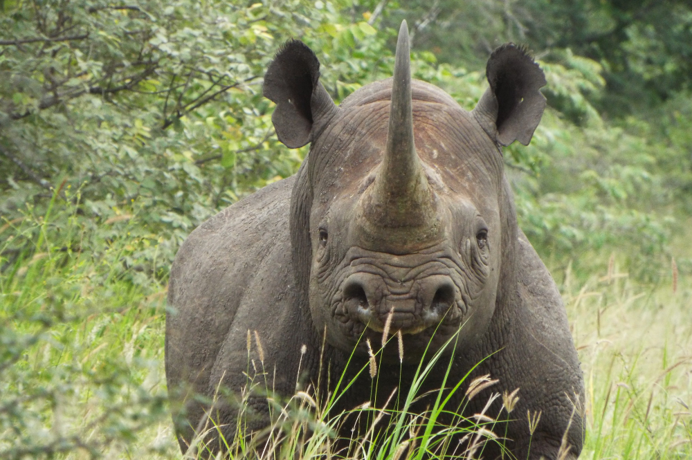 Black rhino in Zimbabwe