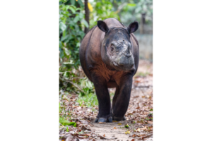 Sumatran rhino walking along a path