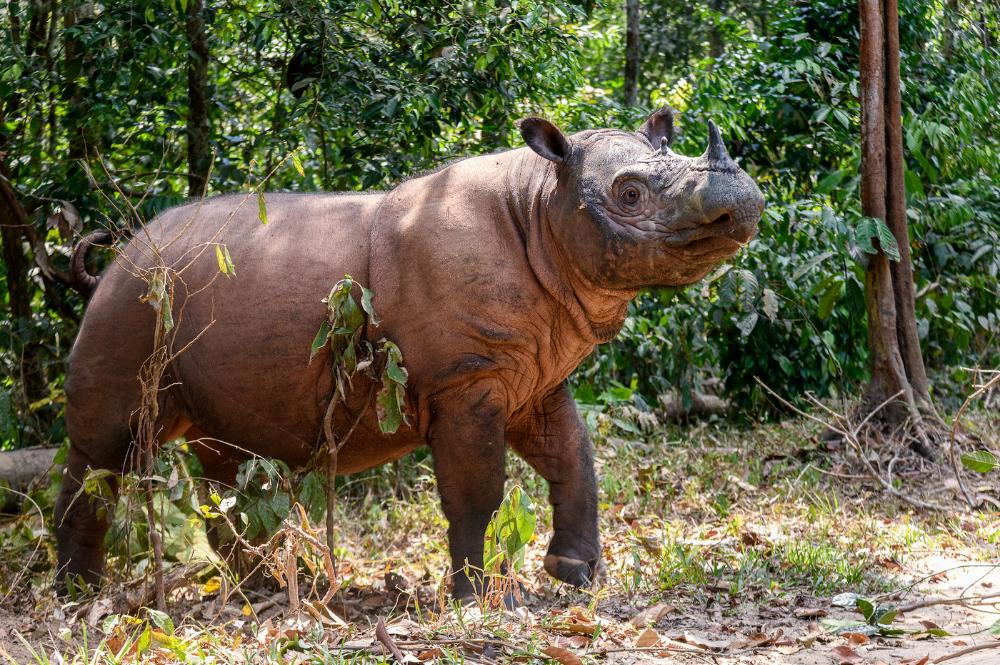 Sumatran rhino at the SRS