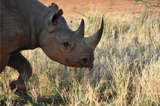 A black rhino at Ol Jogi Conservancy