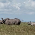 Black rhino cow and calf