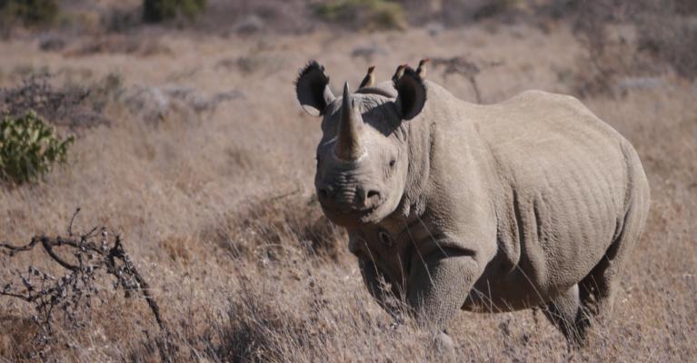 Black rhino at Ol Jogi Conservancy