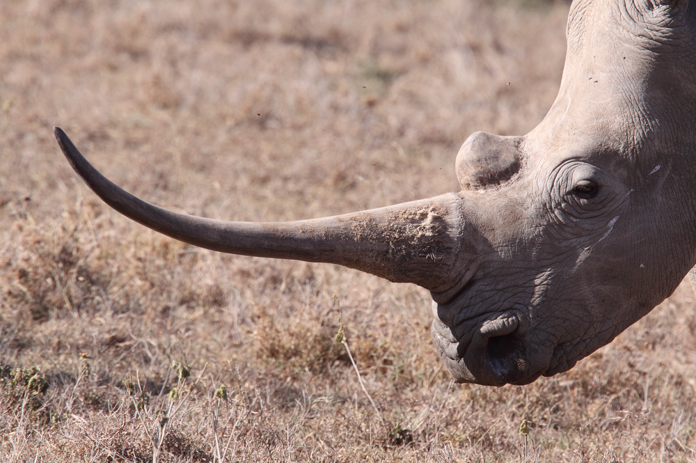 White rhino with a very big horn