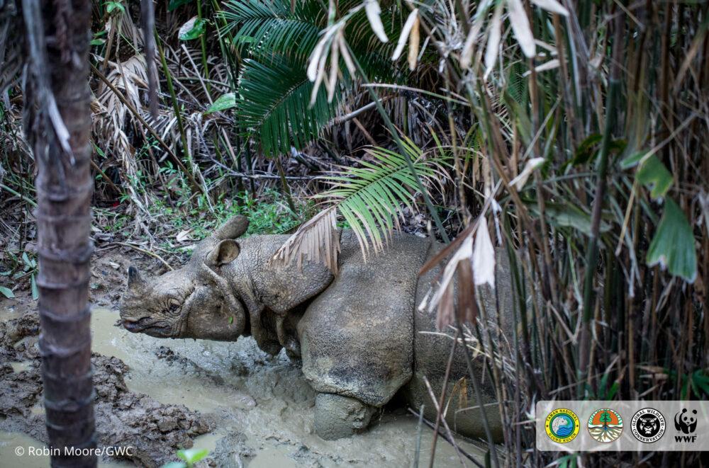 Javan rhino camera trap