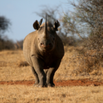 Black rhino facing the camera