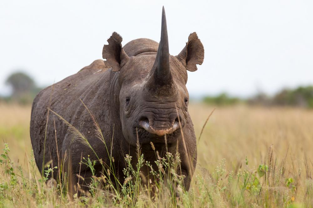 Black rhino facing forward