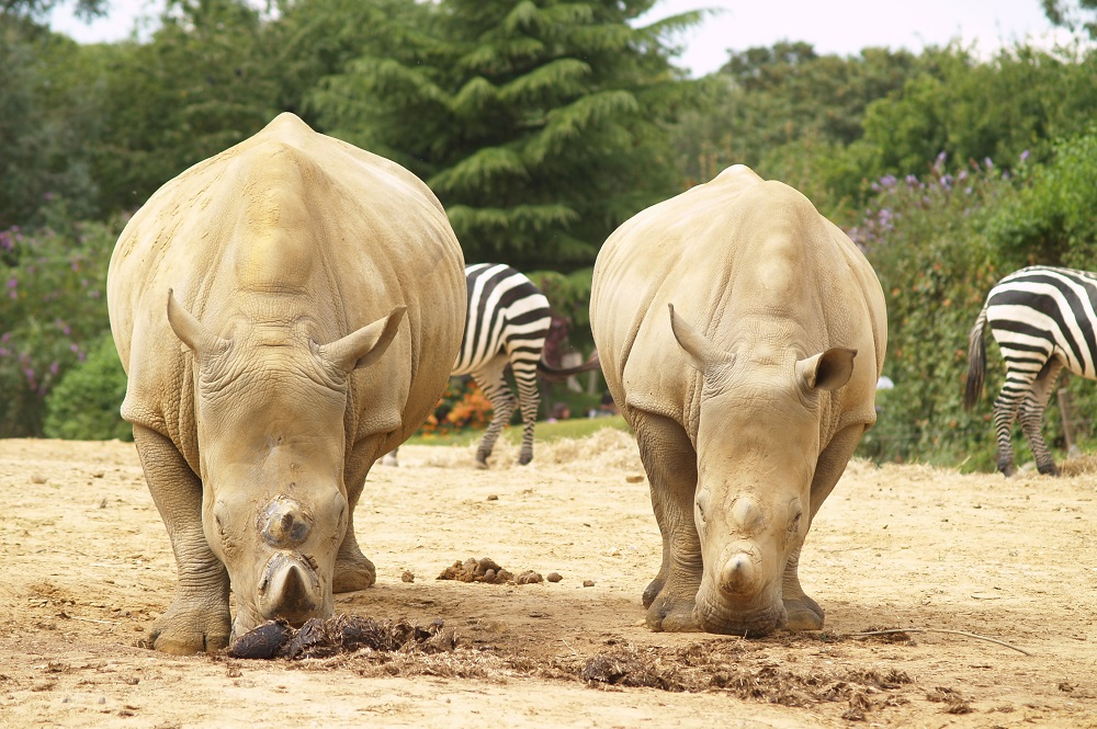 White rhinos at Colchester zoo